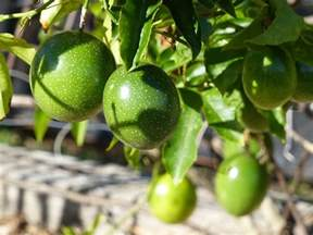 Passion Fruit Plant Diseases - passion fruit growing will make you more money guaranteed hort zone