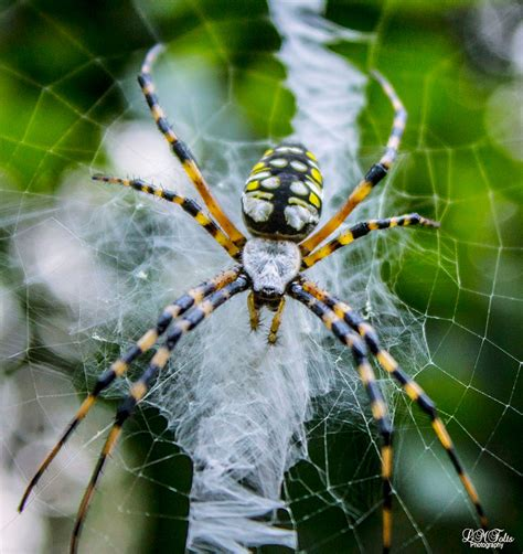 Garden Spider Meaning Wekiva Basin Bird Banding Common Yellowthroats Through