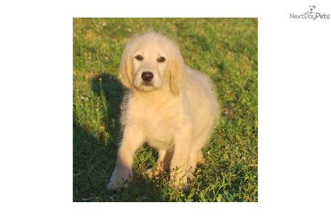 meet cloud 9 a labradoodle puppy for sale for 800