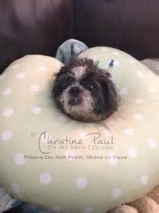 my shih tzu doesn t want to eat caring for an elderly shih tzu