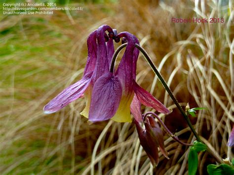 plantfiles pictures chinese columbine aquilegia oxysepala by ancolie88