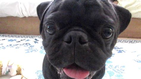 how much is a black pug black pug funnydog tv