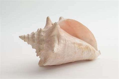 conch shell homestead seattle