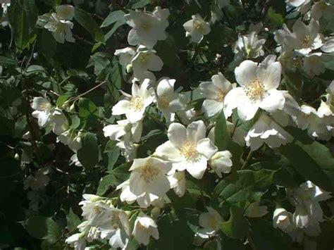 dietrich idaho white tree flowers