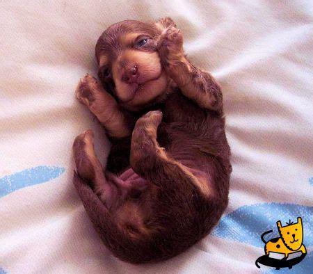 baby dachshund puppies baby dachshund puppy low rider