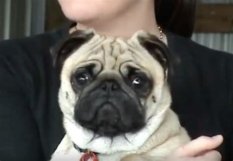 pug freaking out wait until you see this pug s freak out moment omg