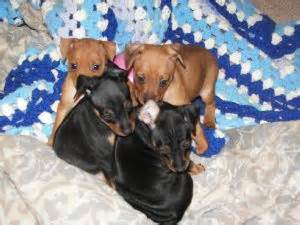 puppies for sale clarksville tn miniature pinscher puppies for sale