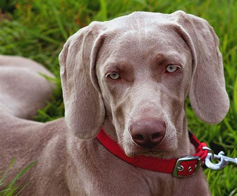 how much are weimaraner puppies how much does a weimaraner cost howmuchisit org