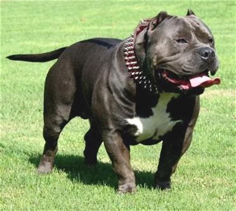 buy pit 5 reasons to buy your american pit bull terrier from a