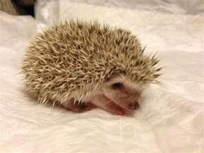 african pygmy hedgehog babies livingston west lothian