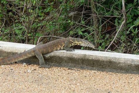 Nile Monitor nile monitor lizards florida s cats