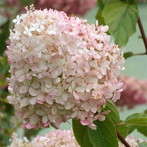 ortensie vaso hydrangea paniculata quot phantom quot ortensia vaso 216 18cm