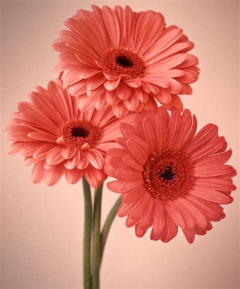 Imagenes Flores Gerberas | im 225 genes de flores y plantas gerbera