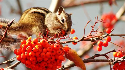 full hd wallpaper chipmunk muzzle viburnum blurry