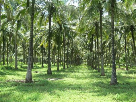 Thailand House For Sale 15 acres super coconut farm for sale in near pollachi