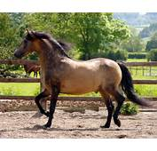 High Definition Collection Morgan Horse Wallpapers 42