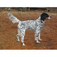 windfall farm english setters hunting dog breeders search locally for english setter breeders nearest you