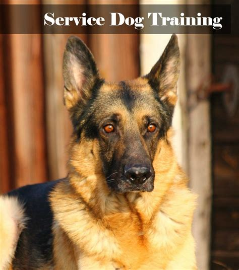 how service dogs are trained service what you need to