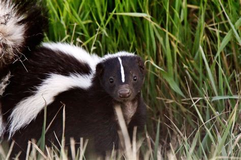 how to get rid of skunks nature s defensenature s defense