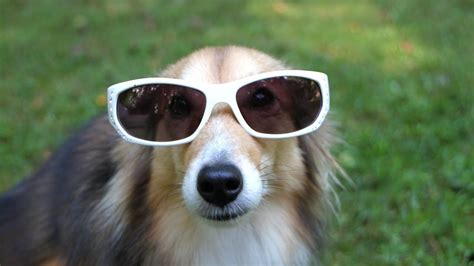 puppies wearing sunglasses dogs wearing sunglasses 1funny