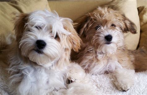 havanese mi havanese puppies heavenly havanese imlay city michigan