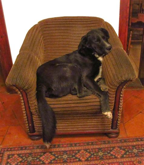 dog armchair natalia levis fox and fast solutions do dogs sing love songs