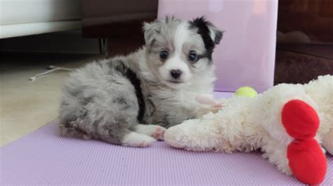 aussie puppies for sale near me circle k farms teacup tiny toys toys and miniature australian shepherds