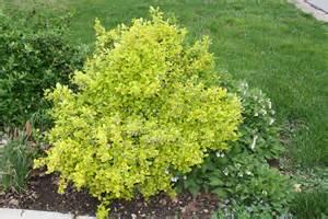 green shrub with yellow flowers golden euonymous donna s garden