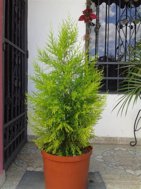 pino limon cupressus macrocarpa puerto jardin