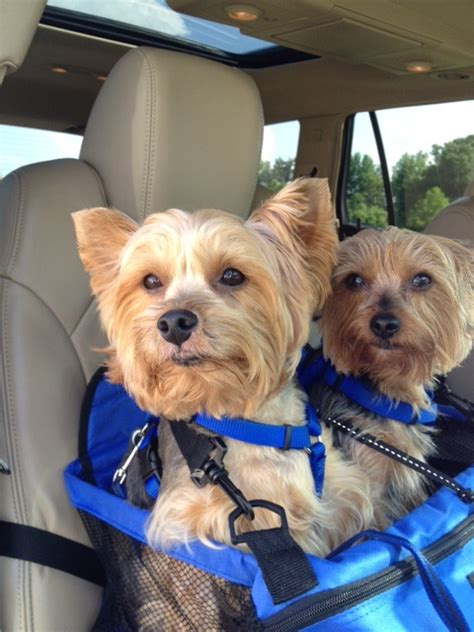 yorkie car seat 297 best images about e my fefe and friends on