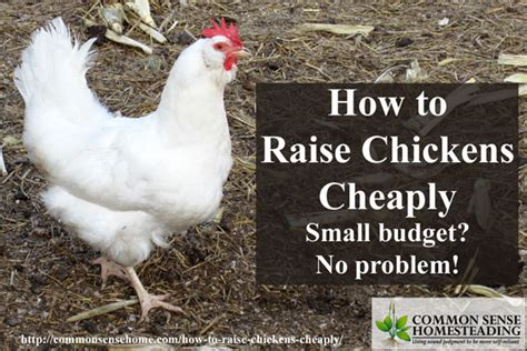 how to raise chickens cheaply small budget no problem