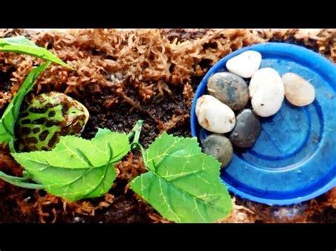 new albino pacman frog | doovi