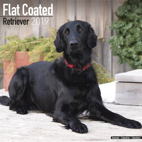 flatcoated retriever square flatcoated retriever calendar 2019 pet prints inc
