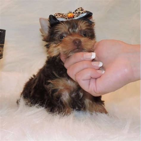 yorkie puppies for sale in detroit michigan two teacup yorkie puppies for adoption pets for free adoption detroit