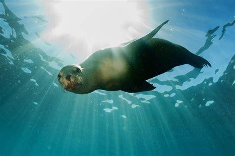 Hiasan Aquarium Orca Seal diving with new zealand fur seals kekeno divehq christchurch