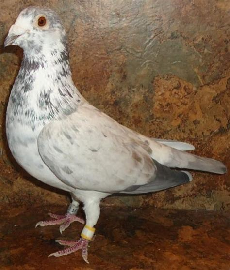 racing homers aka homing pigeons for sale images frompo