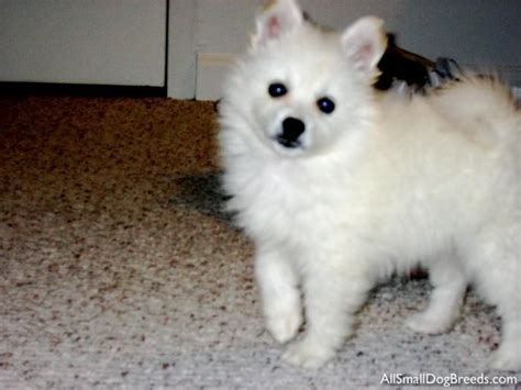 miniature american eskimo puppies miniature american eskimo dogs and such