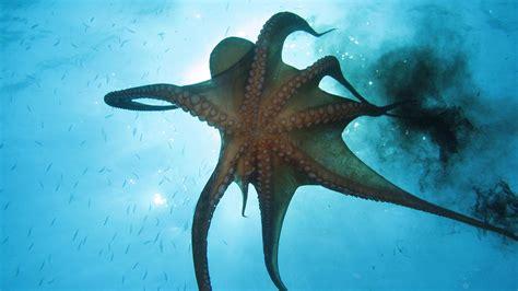 octopus l octopus