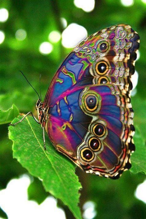 spectacular peacock butterfly most beautiful butterfly