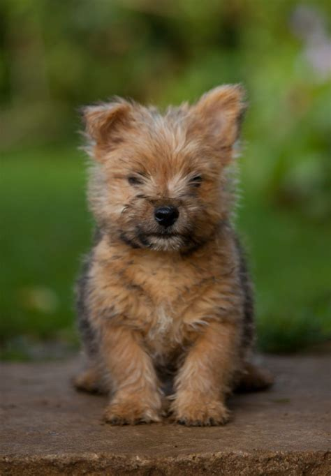 vr puppies norwich terrier puppy something a bit different from me h flickr