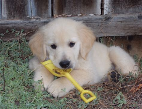 golden retriever dog house american golden retriever puppies www pixshark com