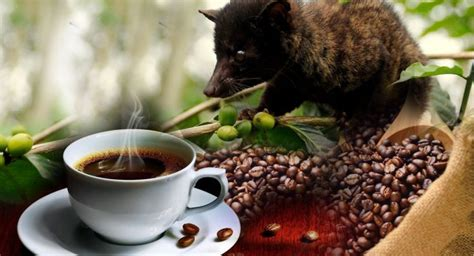 Kopi Luwak Coffee kopi luwak the world s most expensive coffee live
