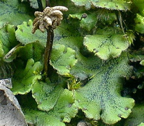 thallose liverworts