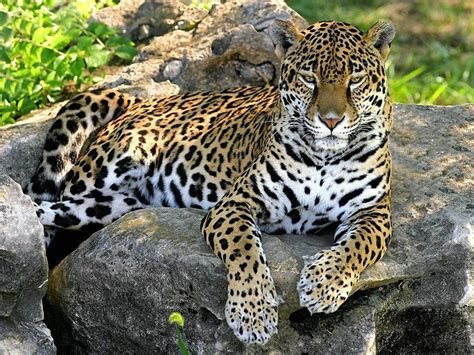 jaguar images hd wallpapers panther wallpapers