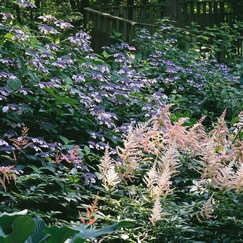 90 best images about astilbe on pinterest gardens shade