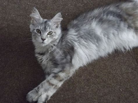 Stunning Silver Tortie Maine Coon Girl Available   Gosport