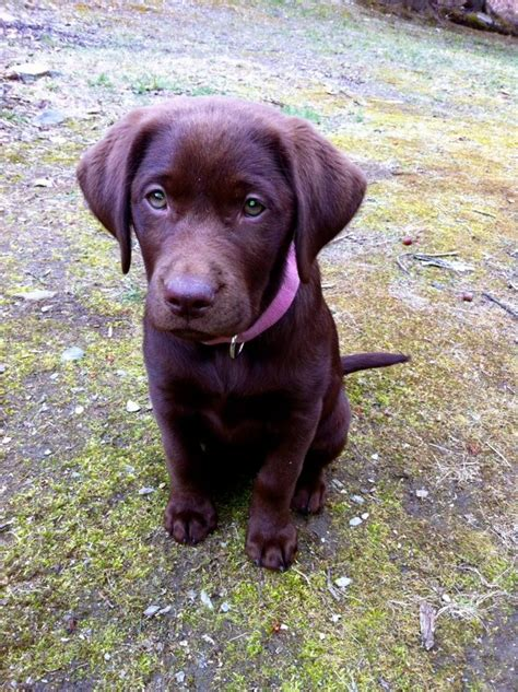 chocolate lab puppies ta chocolate lab puppy those paws don t forget the