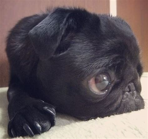 baby pug black 17 best images about pug on pug tuxedos and puppys
