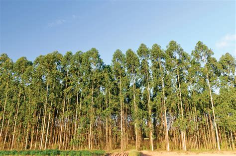 eucalyptus trees not just a border tree possibilities with eucalyptus