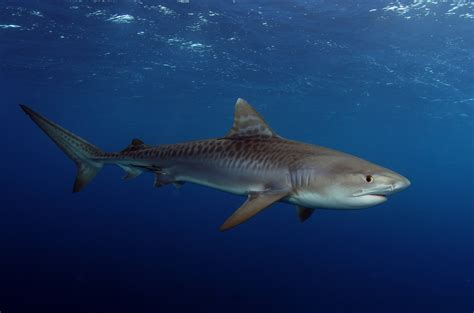 baby shark original charitybuzz baby tiger shark 2013 print by jim abernethy